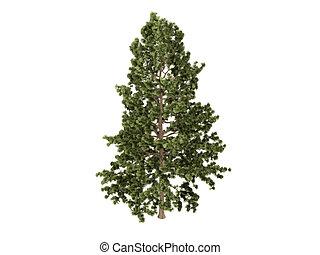 Cork pine or Pinus strobus - Cork pine or latin Pinus ...