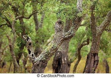 Cork tree forest - mediterranean cork tree forest in Corsica...