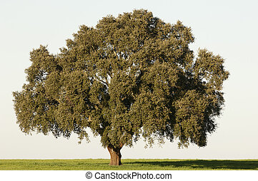 Cork tree - Majestic cork tree alone in the Alentejo...