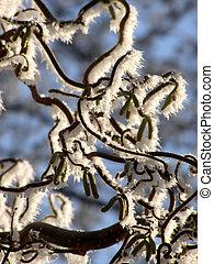 Corkscrew hazel with snow