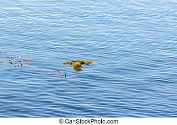 cormoran hunting and flying over the surface of the ocean
