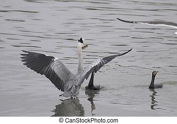 cormorans, chassé, héron
