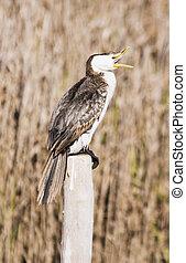 Cormorant 02 - A cormorant sitting on a post. Haumoana ...