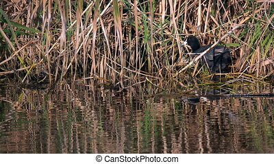 Cormorant and Reeds near the River Water