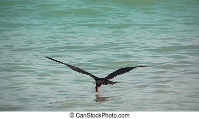 Cormorant fishing in super slow motion - Long shot of...