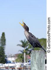 cormorant, mit, schnabel, breit offen