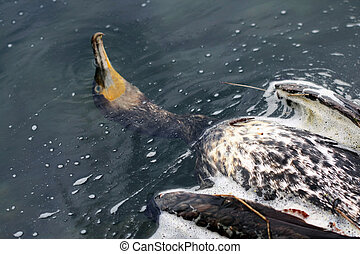 cormorant, morto