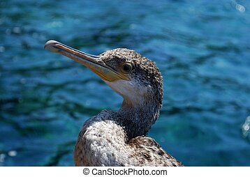 Cormorant - This cormorant (Phalacrocorax aristotelis) was...