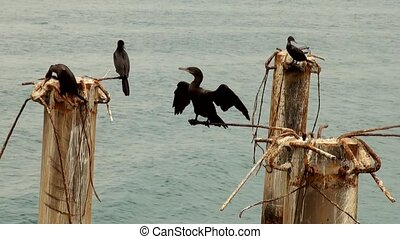 Cormorant Colony On The Rocks- Otaria flavescens - Cruise Port General San Martin Pisco - Peru