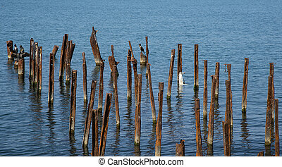 Cormorants on the Black Sea