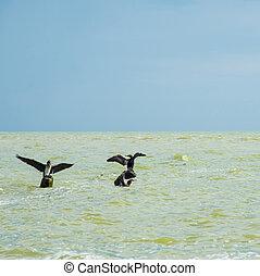 Cormorants on the sea