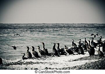 Cormorants on the seaside. Utrish, winter landscape