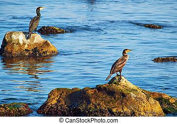 Cormorants on the Stones