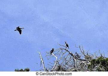 cormorants, pássaros, ligado, a, árvores, ligado, ilha, golem, grad, lago, prespa, macedonia