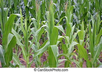 Corn - A row of corn plants in a field in New Jersey
