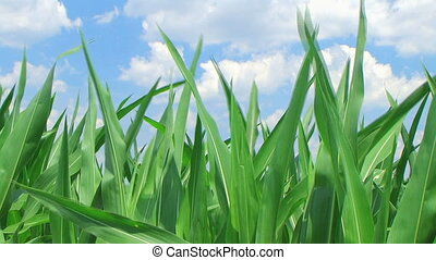 Corn Against Sky - Close-up of corn against sky with gentle...