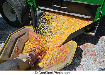 Corn and Auger - Harvested corn flows from grain wagon into...