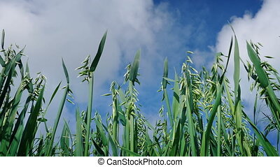 Corn And Blue Sky Low Angle View - Closeup shot looking up...