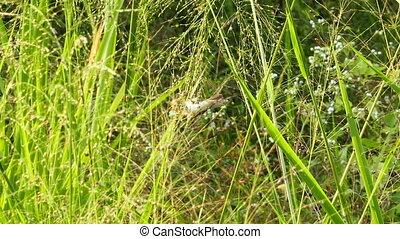Corn Bunting bird eating grass seed