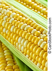 Corn close up - Ears of fresh corn with husks close up