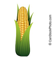 corn cob fresh on white background