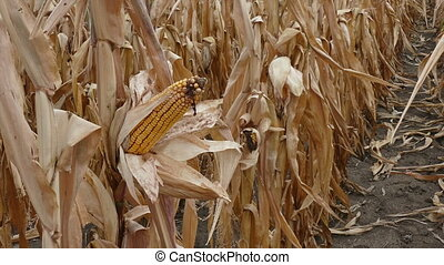 Corn cob in late summer zoom in video - Closeup of corn cob...