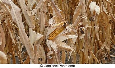 Corn cob ready for harvest - Closeup of corn cob in late...