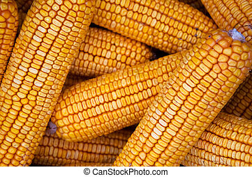 Corn cob - The early autmn crop of corn cobs.
