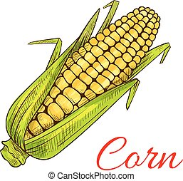 Corn vegetable sketch. Vector isolated corncob or corn ear with leaves. Vegetarian and vegan cuisine vegetable and agriculture ripe harvest. Sweet corn cob maize object for grocery store, farmer market design