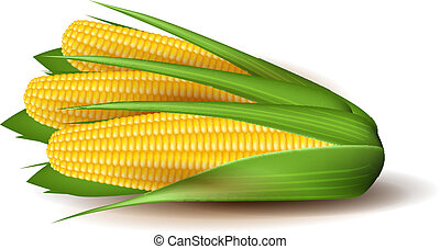 Corn cobs with green leaves