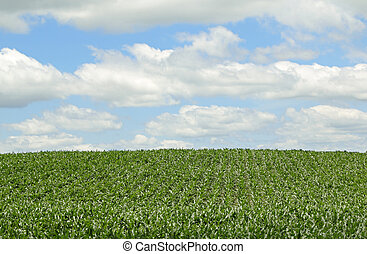 Farm field with rows of corn and blue sky with clouds