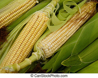 fresh harvested corn with leaves