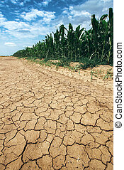 Corn crop growing in drought conditions