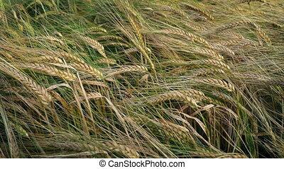 Corn Crop In Breeze - Corn plants in gentle summer breeze