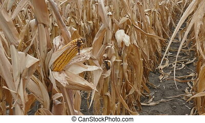 Corn crop ready for harvest - Closeup of corn cob in late...