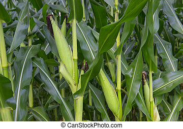 Corn crops - Ripe fresh corn cobs in the field