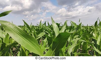 Corn cultivation field in northern Italy