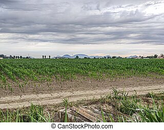 Corn cultivation in Italy 2