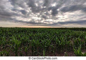 Corn cultivation in Italy 6