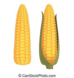 Corn - Set of two ripe corn cobs isolated on white...