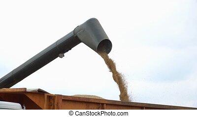 Corn Falling from Combine Auger into Grain Cart. Combine harvester unloads grain in the box