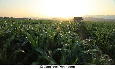 Corn farm.  - Corn farm in Thailand :  Crane shot.