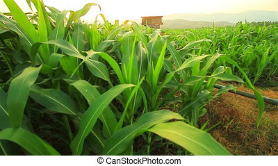 Corn farm. Crane shot.