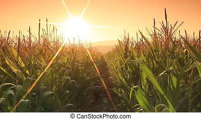 Corn farm in Thailand :  Crane shot.