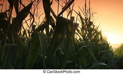 Corn farm . - Corn farm in Thailand :  Crane shot.