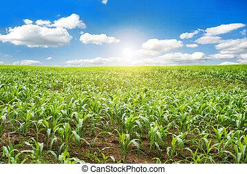 Corn farm with blue sky