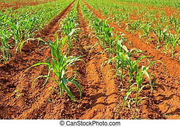 corn field 02