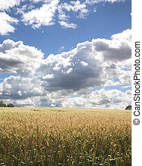 Corn Field 1 - Corn field with dramatic blue sky and clouds