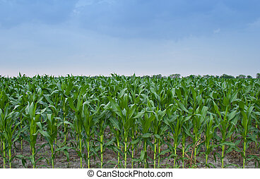 Corn Field 3