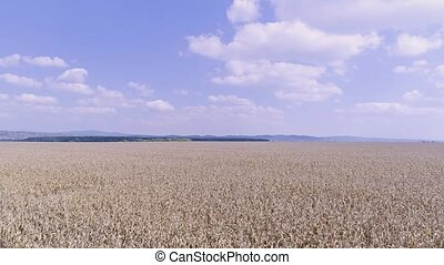 Corn field aerial - Aerial view of the corn field before...